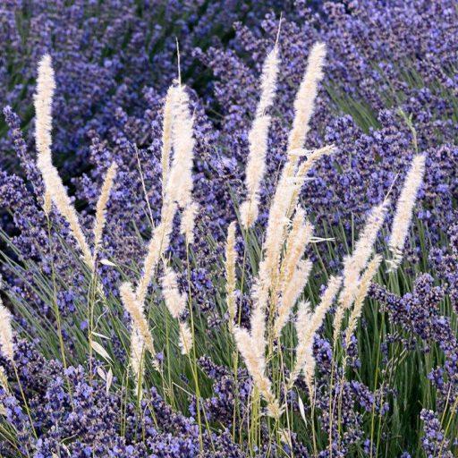 cropped-lavender-impression-2.jpg